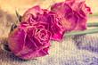 Obrazy na płótnie, fototapety, zdjęcia, fotoobrazy drukowane : Three old roses on sackcloth background