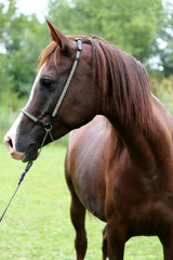 Head shot of a purebred arabian saddle horse