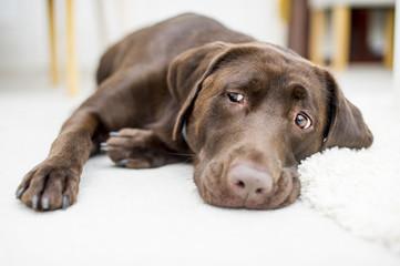 Ładny brązowy czekoladowy labrador portret