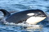 Wild Killer Whale Calf