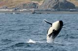 Wild Female Killer Whale Breaching