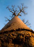 Baobab on background blue sky. Madagascar. An excellent illustration.