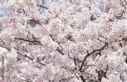 Poster Beautiful cherry blossom sakura with nice blue sky