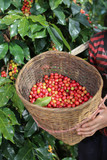 Fototapety red berries coffee beans on basket wooden in farm