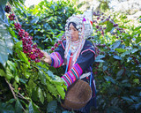 Fototapety Akha woman picking red coffee beans on bouquet at plantation