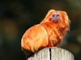 Golden Lion Tamarin