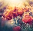 Red poppy flowers in meadow - wild poppy flowers