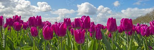 fototapeta na ścianę Tulips in a field in spring