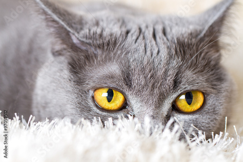 Poster gray British cat hiding in the carpet