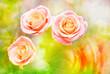 Rose flower close up