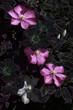 Цветки клематиса на темном фоне