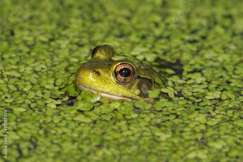 Fotobehang Kikker Green Frog (Rana clamitans)