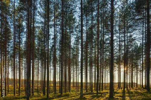 Foto op Plexiglas Herfst Pine Forest