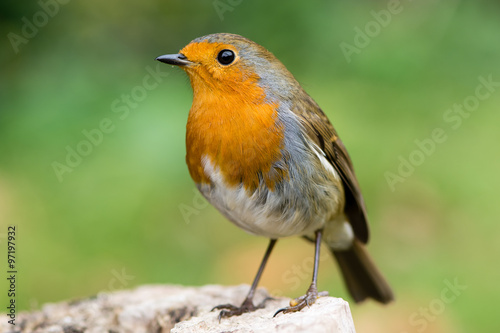Poster Robin (Erithacus rubecula) filling the frame in profile with particularly striki