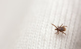 Castor bean tick, Ixodes ricinus nymph on textile