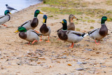 ducks floating in the water, feeding the ducks, bread in beak hu