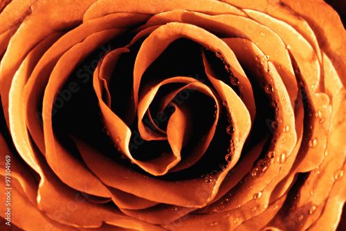 Fototapeta Closeup of a Yellow Rose