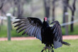 Turkey Vulture wings open perched