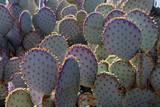 Sunlit Prickly Pear Cactus in the Sonoran Desert