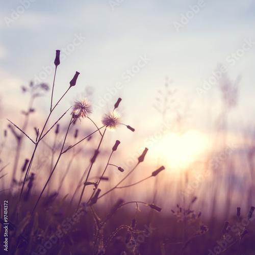 evening autumn nature background, beautiful meadow dandelion flowers in field on orange sunset. vintage filter effect - 97414372
