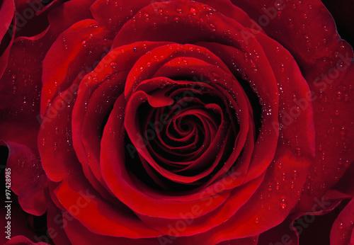 Fototapeta Closeup of a Red Rose