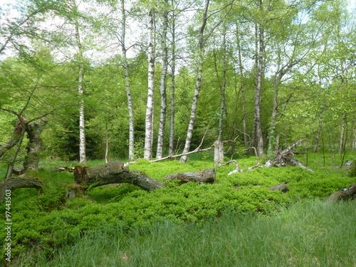 Birkenwald/Hochmoor
