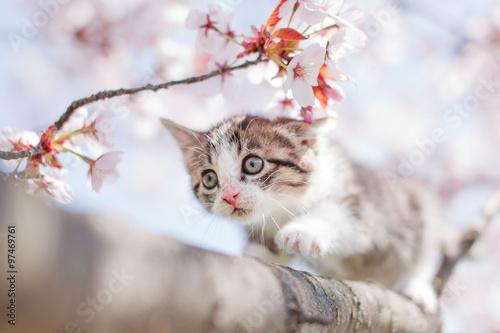 obraz lub plakat 子猫と桜