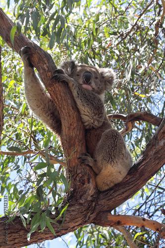 Poster Koala (Phascolarctos cinereus)