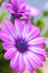 Vibrant beautiful purple daisies. © pilat666