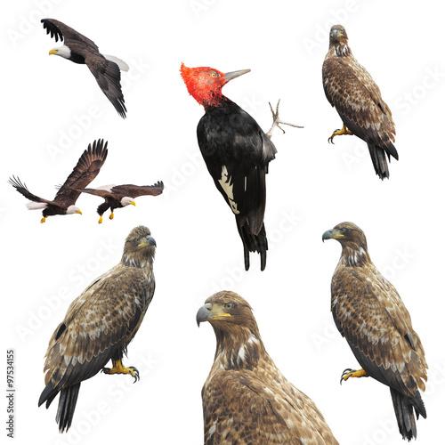 Plexiglas Eagle Eagles and woodpecker.
