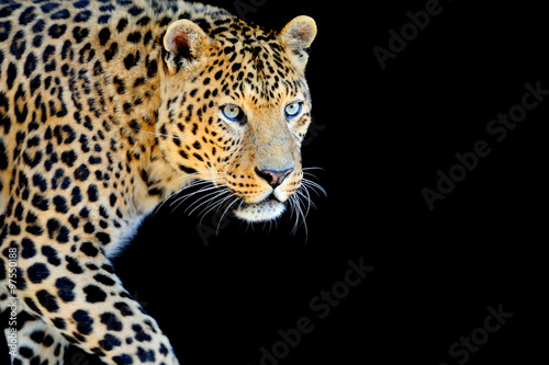 Fototapeta Leopard portrait on dark background