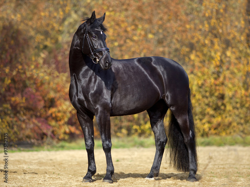 Fototapeta black horse portrait outside with colorful autumn leaves in background