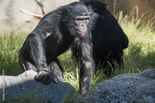 Fotobehang Bamboe bonobo chimpanzee ape portrait close up