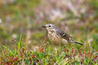 American Pipit standing in a meadow, Newfoundland, Canada