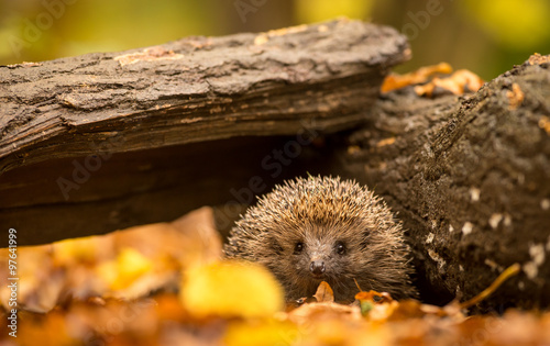 Zdjęcia na płótnie, fototapety na wymiar, obrazy na ścianę : A small cute hedgehog walking through the woodland looking for food