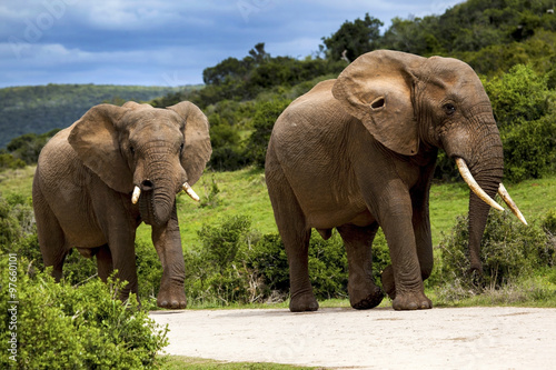 Poster Two Elephants walking in the road in a safari park in South Africa