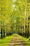Baumallee mit vielen Bäume