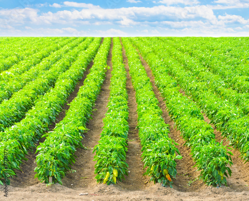 Foto Murales  Peppers in a field with irrigation system and blue sky