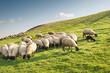 Flock of sheep grazing