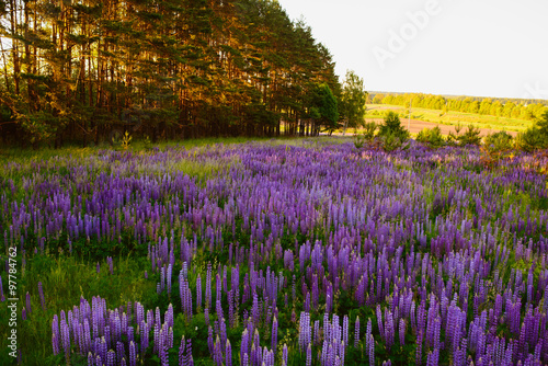Fototapeta Lupine Meadow