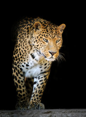Leopard portrait on dark background © byrdyak