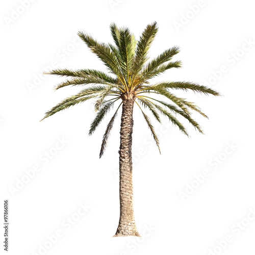 Palm tree isolated on white background - 97866106