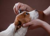 combing her dog Jack Russell Terrier