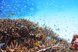 サンゴと青い魚の群れ 97943165,イソバナ,7maru,203726753,1,392,0,0,coral