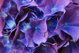 Fototapety Detail of blue hydrangea flower and petals in bloom