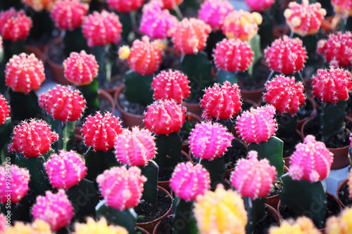 Fotobehang Candy roze colorful cactus