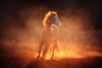 Koń biegnący w kurzu, w słońcu