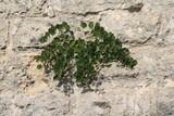 Piante di cappero sulle mura del Castello di San Michele a Cagliari