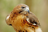 Head shot of a Red Tailed Hawk with green background.
