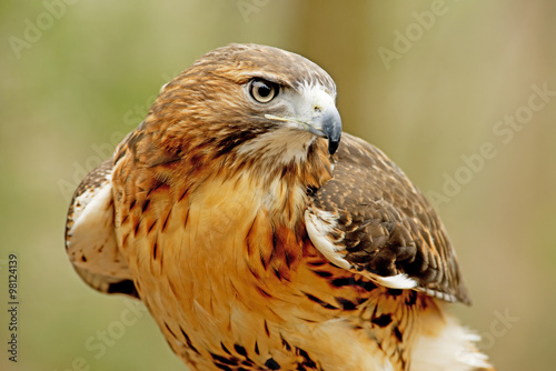 Poster Head shot of a Red Tailed Hawk with green background.